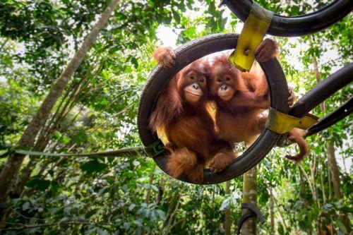 _orangutanspanecoyvesbachmann